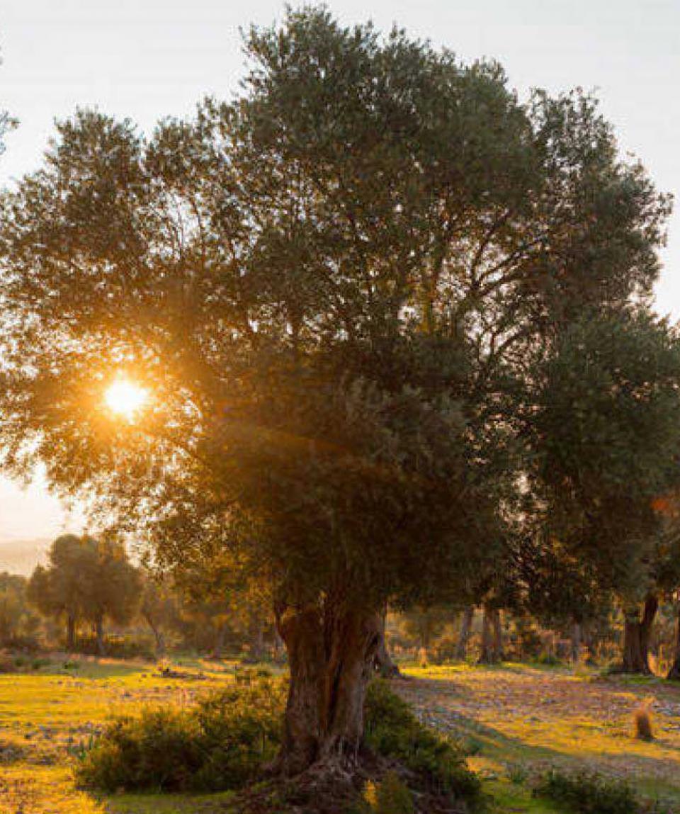 experiences-valencia-olivos
